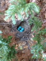 Robin's nest at our house 4-22-13